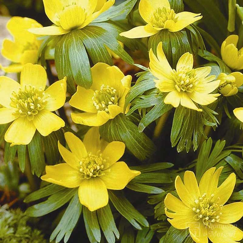 Aconite Winter In The Green 25 Bulbs On Sale Fast