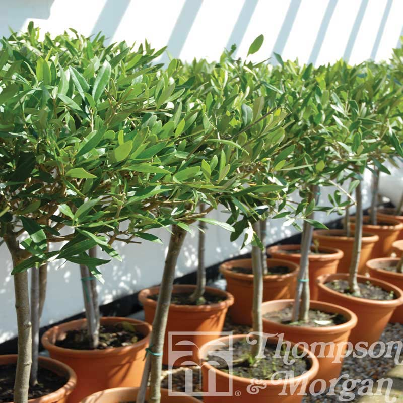 Autumn plants olive tree standard 2 x trees under 15m on sale for What to plant under olive trees
