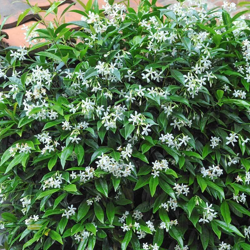 thompson morgan trachelospermum jasminoides 2 x 7cm pots. Black Bedroom Furniture Sets. Home Design Ideas