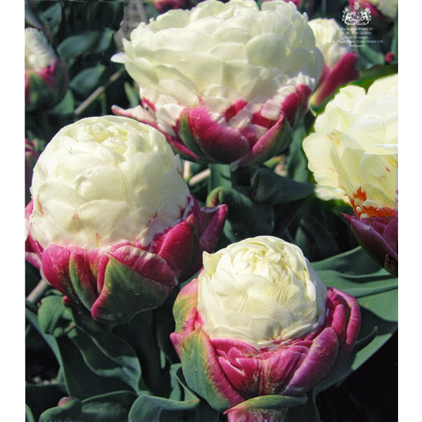 tulip sale fast delivery. Black Bedroom Furniture Sets. Home Design Ideas