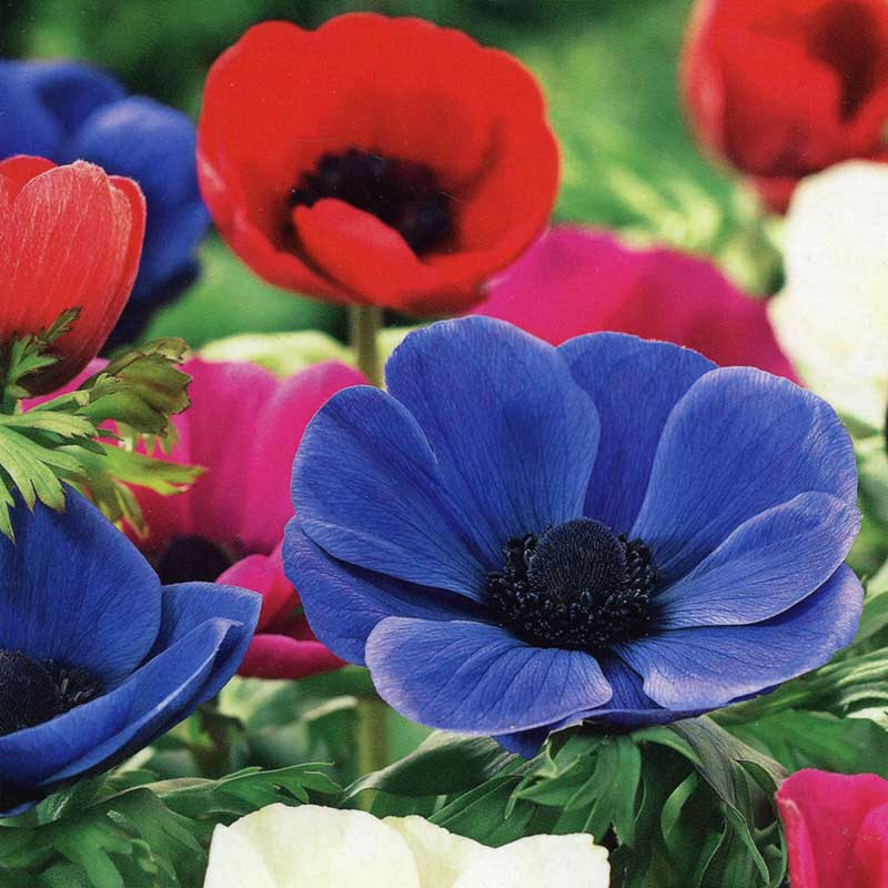 autumn bulbs anemone de caen mixed 20 bulbs on sale fast. Black Bedroom Furniture Sets. Home Design Ideas