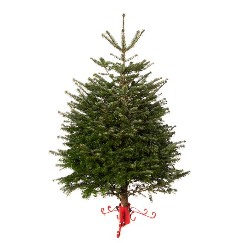 Real Christmas Trees Sale Fast Delivery Greenfingers Com