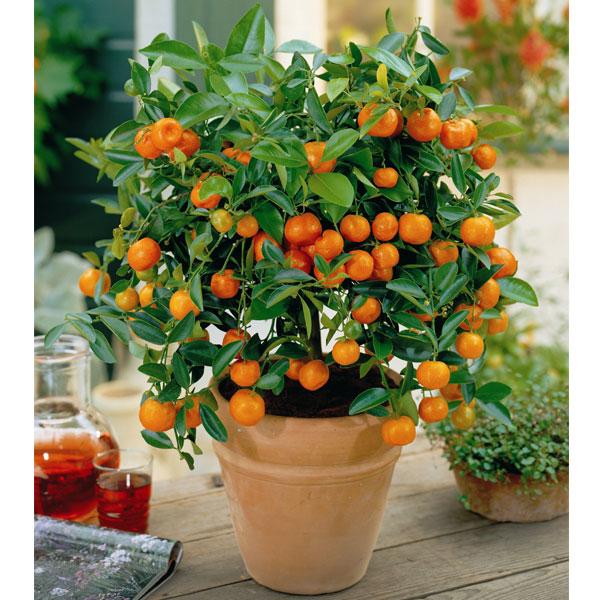 Autumn plants citrus patio trees 2 9cm pots on sale fast delivery