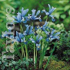 Autumn Bulbs - Iris Reticulata-20 Bulbs