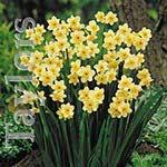 Autumn Bulbs - Narcissus 'Minnow' -10