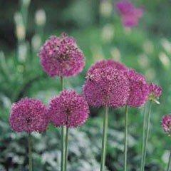 Autumn Bulbs - Allium Purple Sensation -7 Bulbs
