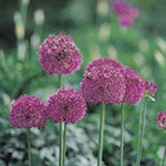 Autumn Bulbs - Allium Purple Sensation- Pack of 5 Bulbs