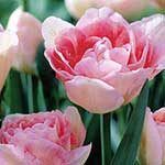 Autumn Bulbs - Tulip 'Angelique'- 8 Bulbs