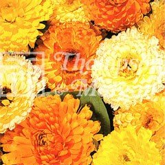 Flower Seeds - Calendula Fiesta Gitana Mixed