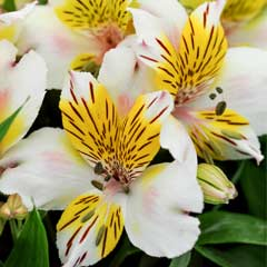 Thompson & Morgan Alstroemeria Inca Smile 3 x Pots