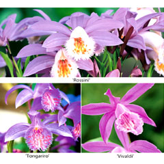 Pleione Orchid Collection X 3 Bulbs