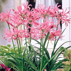Nerine Bowdenii - 6 Bulbs