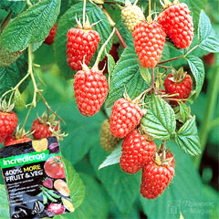 Raspberry Tulameen Late Summer Fruiting - 6 Canes + Incredicrop 100g + Crop Protection Net