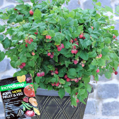 Raspberry Ruby Beauty 9cm Pot with Small Patio Pot & Saucer & 100g Incredicrop