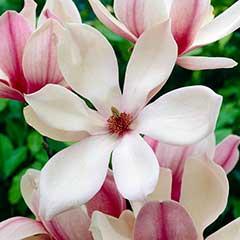 Magnolia Red Lucky - x1 Length 120cm
