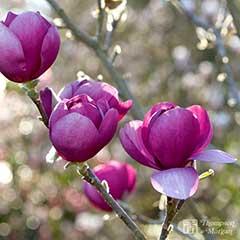 Magnolia Black Tulip - x1 Length 100cm