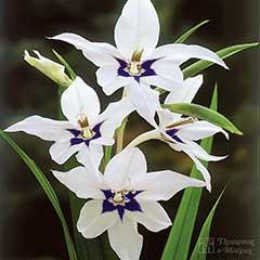 Abyssinian Gladioli - 100 Bulbs