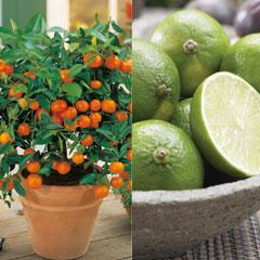 Fruit Citrus Collection - Orange and Lime - 2 x 90cm Pots