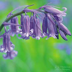 English Bluebells In The Green - 25 Bulbs