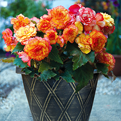 Thompson and Morgan Begonia Apricot Shades Improved F1 Hybrid - 48 Plugs