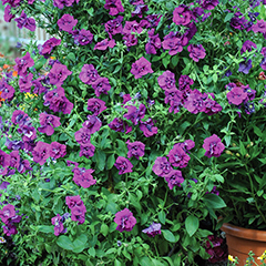 Thompson and Morgan Petunia Purple Rocket - 6 Postiplugs