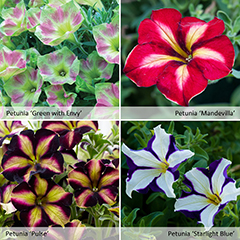 Thompson and Morgan Petunia Crazytunia Collection - 20 Postiplugs and 2x Hanging Baskets