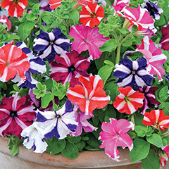 Thompson and Morgan Petunia Stars and Stripes Mixed - 48 plugs
