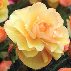Thompson and Morgan Begonia Fragrant Falls Improved Apricot Delight - 4 Jumbo Plugs