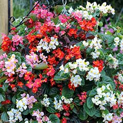 Thompson and Morgan Begonia Summer Jewels Mixed - 48 plugs