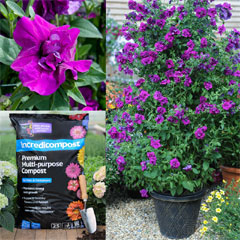 Thompson and Morgan Petunia Purple Rocket Collection - 3 Postiplugs, Tower Pot, 25 ltr Incredicompos