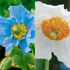 Thompson and Morgan Meconopsis Duo 8 Jumbo Plugs