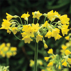 Thompson and Morgan Primula Giant Fragrant Cowslip 6 Jumbo Plugs