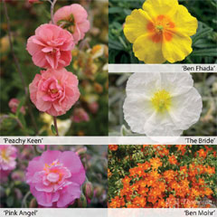 Thompson and Morgan Rock Rose Helianthemum Collection - 5 Jumbo Plugs