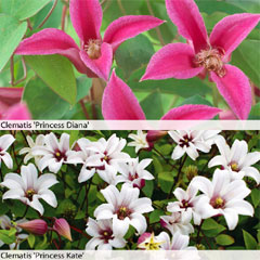 Thompson and Morgan Clematis Royal Ladies Duo 2 x 7cm Pot