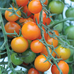 Thompson and Morgan Tomato Sungold 10 Postiplugs