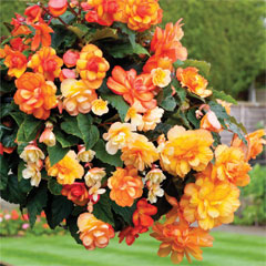 Thompson and Morgan Begonia F1 Apricot Shades Improved 30 Garden Ready Plants
