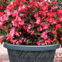Thompson and Morgan Begonia Whopper Garden Ready Pot with 3 Plants