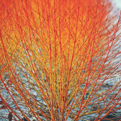 Thompson and Morgan Cornus Winter Flame 9cm Pot x 3