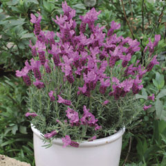 Thompson and Morgan Lavender The Princess 8cm Pot x 3