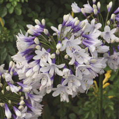 Thompson and Morgan Agapanthus Twister  9cm Pot x 2