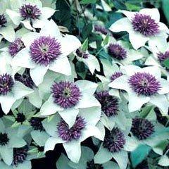 thompson morgan clematis florida sieboldii 3 plug plants. Black Bedroom Furniture Sets. Home Design Ideas