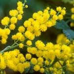 Autumn Plants - Mimosa