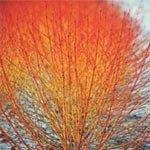 Autumn Plants - Cornus Winter Flame