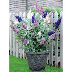 Thompson and Morgan Buddleja Buzz 3-in-1 9cm Pot - Candy Pink, Indigo, Ivory
