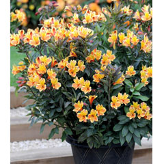 Thompson and Morgan Alstroemeria Summer Breeze 3 Jumbo Plugs