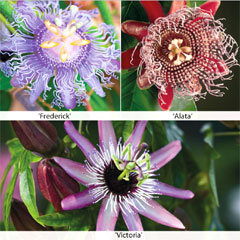 Thompson and Morgan Passion Flower Climbing Collection  3 x 9cm pots