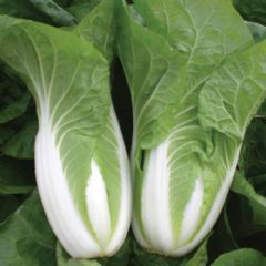 Brassica Seeds Chinese Cabbage Natsuki - 30 Seeds