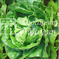 Vegatable Seeds - Lettuce Arctic King