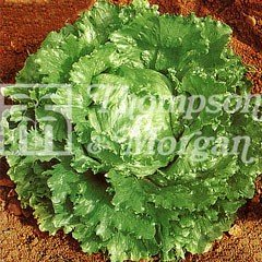 Vegetable Seeds - Lettuce Webbs Wonderful