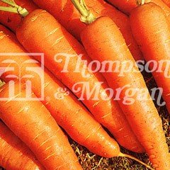Vegetable Seeds - Carrot Early Nantes 2